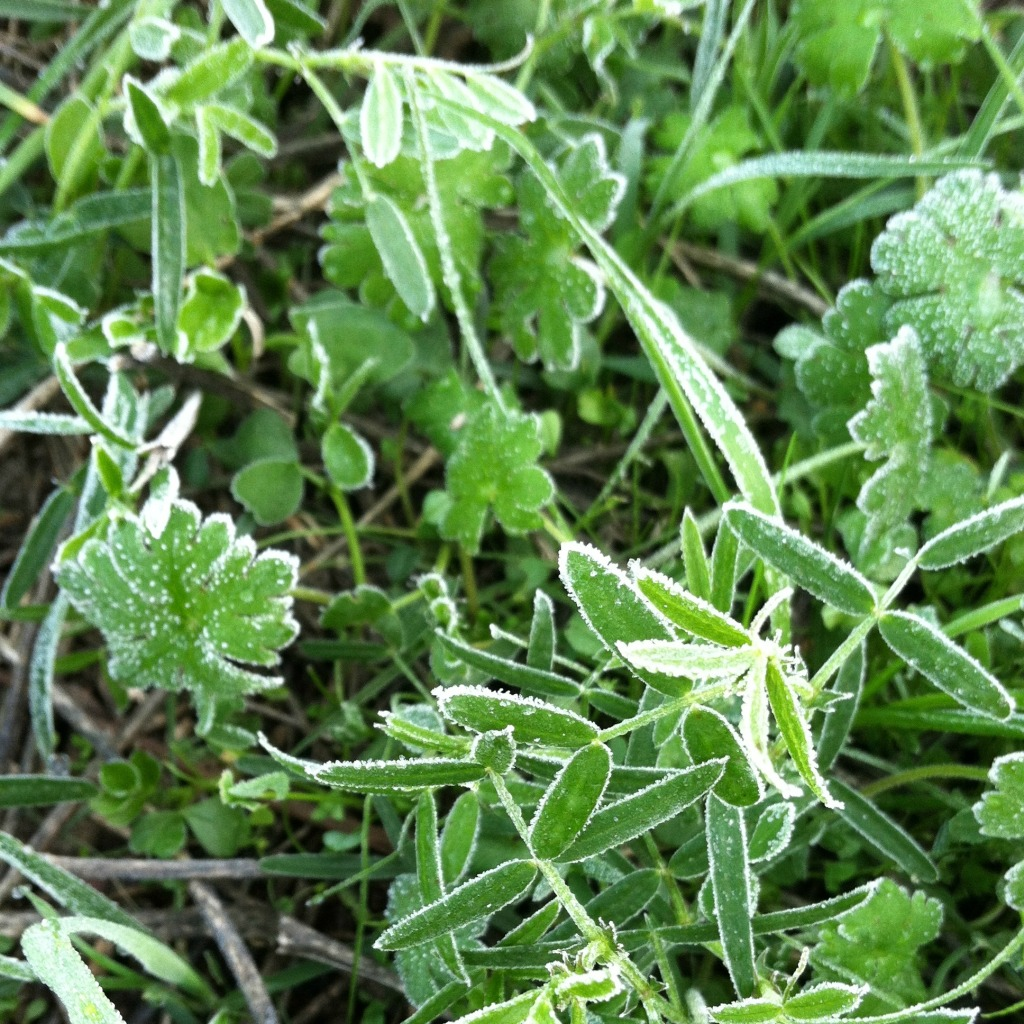 frosty cover crops